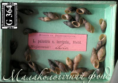 Lymnaea palustris