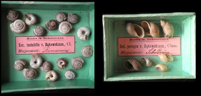 Helix instabilis var. Bakowskyana і Lymnaea peregra var. Bakowskyana с Малакологического фонда ГПМ НАНУ
