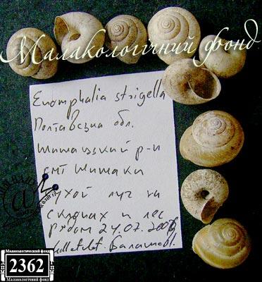 Euomphalia strigella