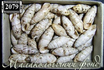 Brephulopsis