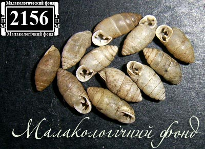 Chondrula microtragus