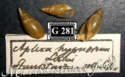 Aplexa hypnorum
