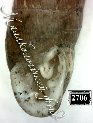 Chondrula tridens martynovi