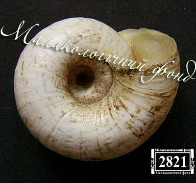 Helicopsis luganica