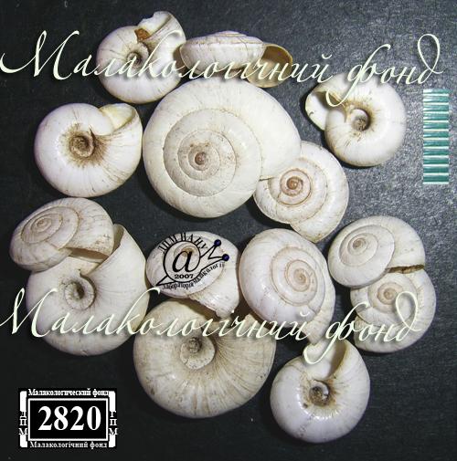 Helicopsis subfilimargo