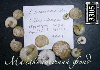 Oxychilus koutaisanus mingrelicus