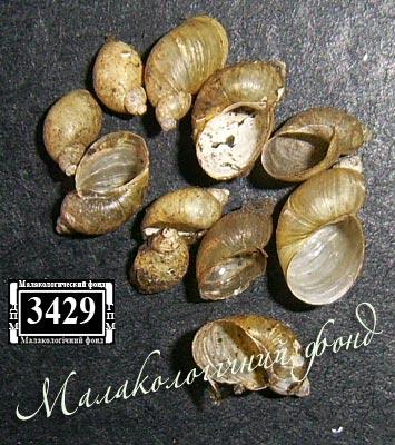 Succinella oblonga