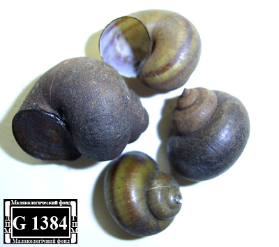 Viviparus contectus