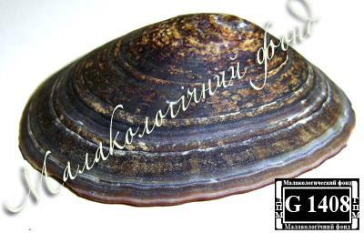 Nacella polaris (Nacellidae)