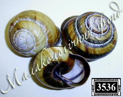 Caucasotachea calligera (Helicidae)