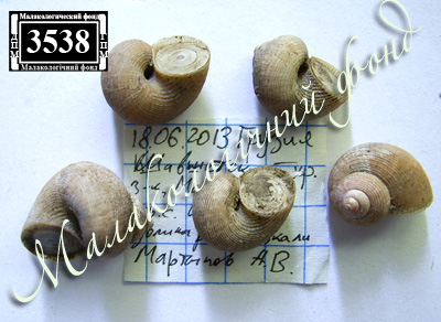 Pomatias rivulare (Pomatiidae)