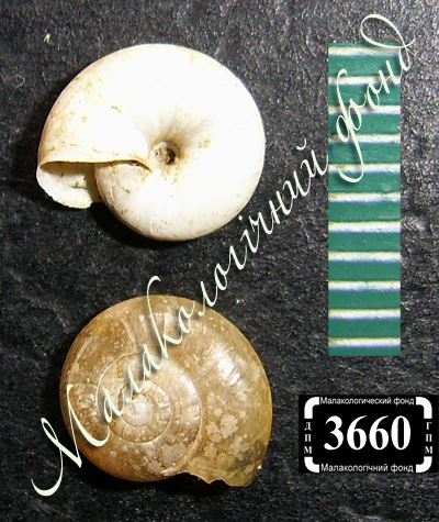 Oxychilus draparnaudi (Zonitidae)