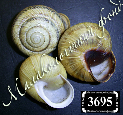 Caucasotachea atrolabiata (Enidae)