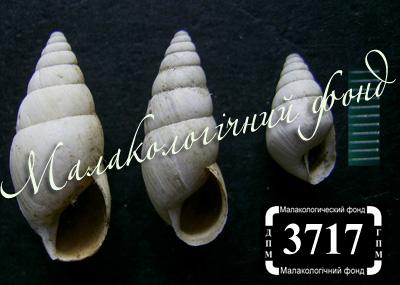 Georginapaeus hohenackeri (Enidae)