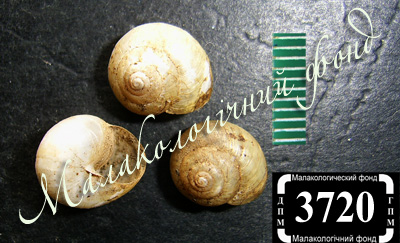 Stenomphalia selecta (Hygromiidae)