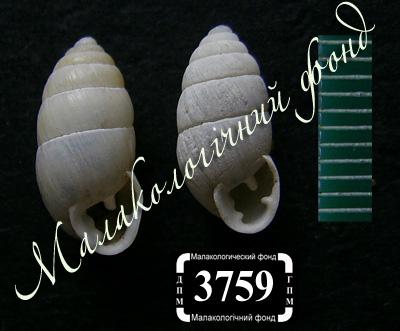 Pseudochondrula tetrodon (Enidae)