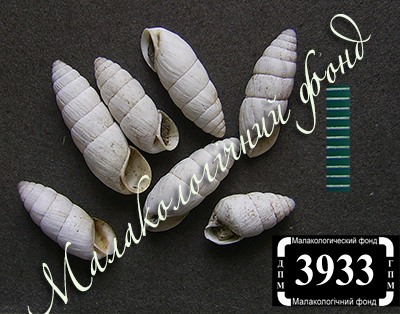Brephulopsis bidens