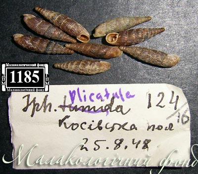 Macrogastra latestriata