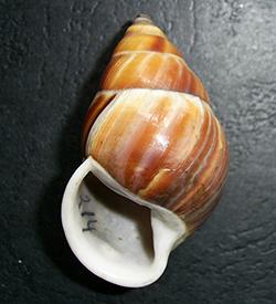 Amphidromus sp.