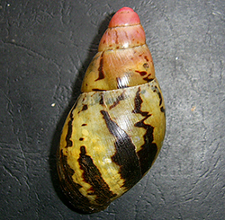 Archachatina adelinae