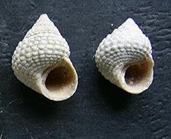 Cenchritis muricatus