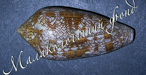 Conus textile. Фотография 2