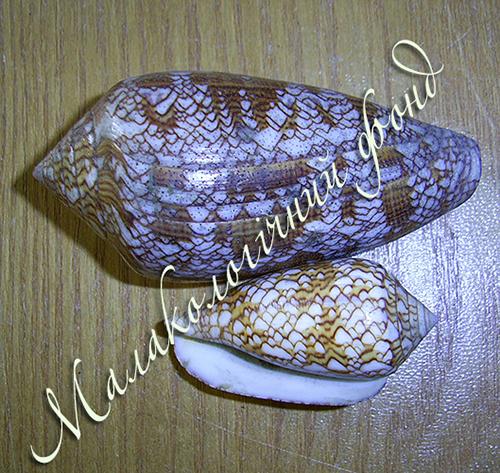 Conus textile. Фотография 3