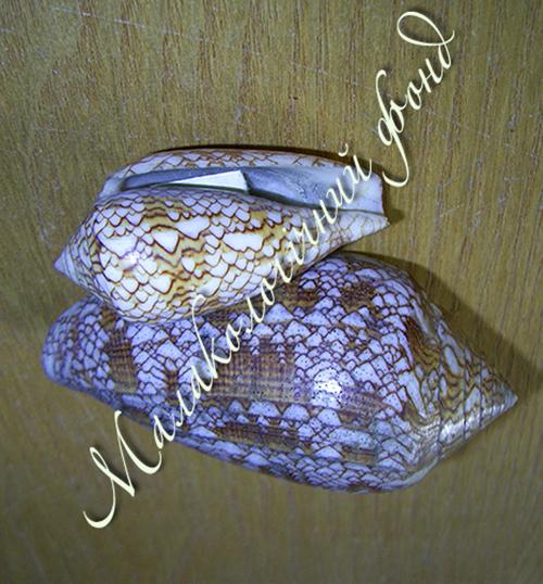 Conus textile. Фотография 4