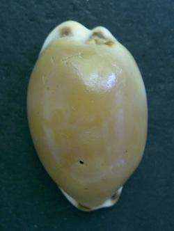 Cypraea lurida