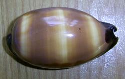 Cypraea talpa
