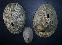Diodora italica