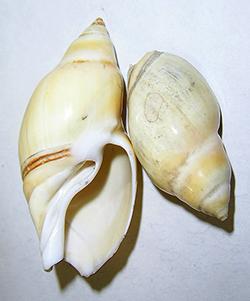 Eburna glabrata