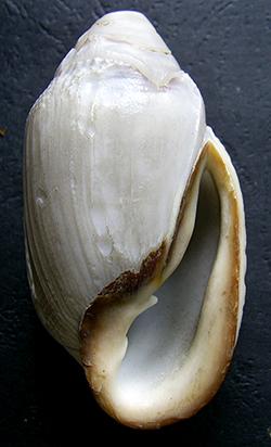 Ellobium sp.