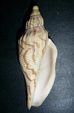 Fulgoraria hamillei