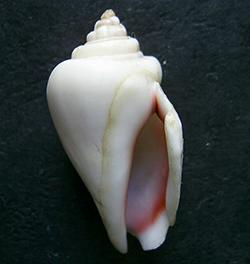 Gibberelus gibberelus albus