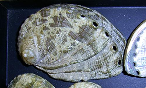 Haliotis tuberculata f. lamellosa