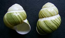 Helicostyla viridostriata