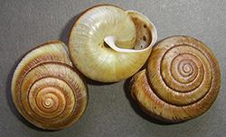 Karaftohelix maackii