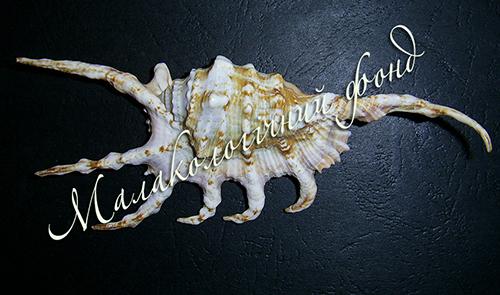 Lambis scorpio (Linnaeus, 1758). Фотография 3