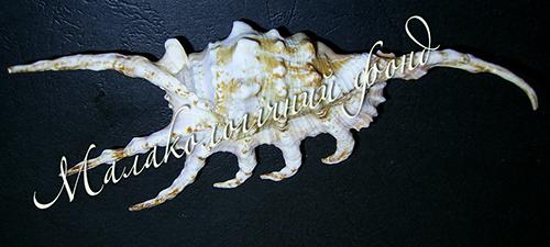 Lambis scorpio (Linnaeus, 1758). Фотография 4