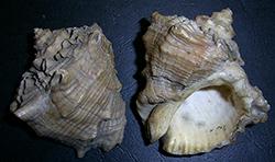 Neorapana muricata