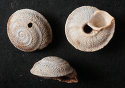 Sphincterochila cariosa