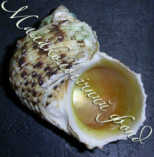 Turbo chrysostomus. Фотография 1