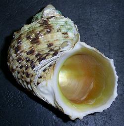 Turbo chrysostomus Linnaeus, 1758