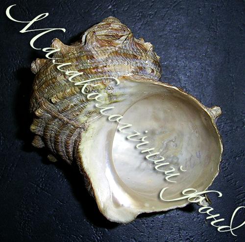 Turbo cornutus. Фотография 2