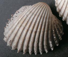 Моллюск августа среди экзотических моллюсков - Acanthocardia echinata (Linnaeus, 1758)  (2018 г.)