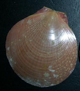 Amusium pleuronectes