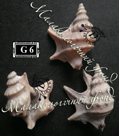 Aporrhais pespelecani