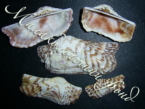 Arca navicularis. Фотография 2