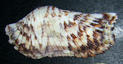 Моллюск апреля среди экзотических моллюсков - Arca navicularis Bruguiere, 1789 (2018 г.)